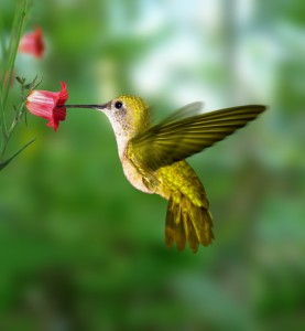 attracting-hummingbirds.jpg