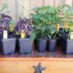 vegetable & herb plants