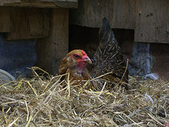 winterize your chicken coop
