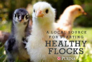 chickdaysgraphicpurina